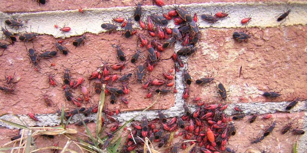 A swarm of boxelder bugs on a  brick building wall